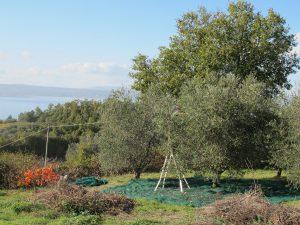 la-cava-unser-olivenhain-am-lago-di-bolsena