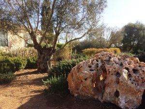 LA-CAVA-Gestaltung-mit-altem-Olivenbaum-und-Fels
