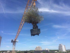 LA-CAVA-olivenbaum-im-gartenbauprojekt