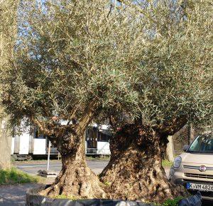 LA-CAVA-zweistaemmige-olive