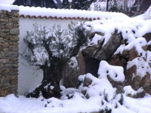 la-cava-olivenbaum-im-winter