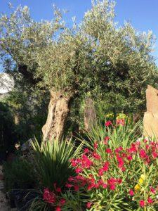 LA-CAVA-OLivenbäume-und-Oleander