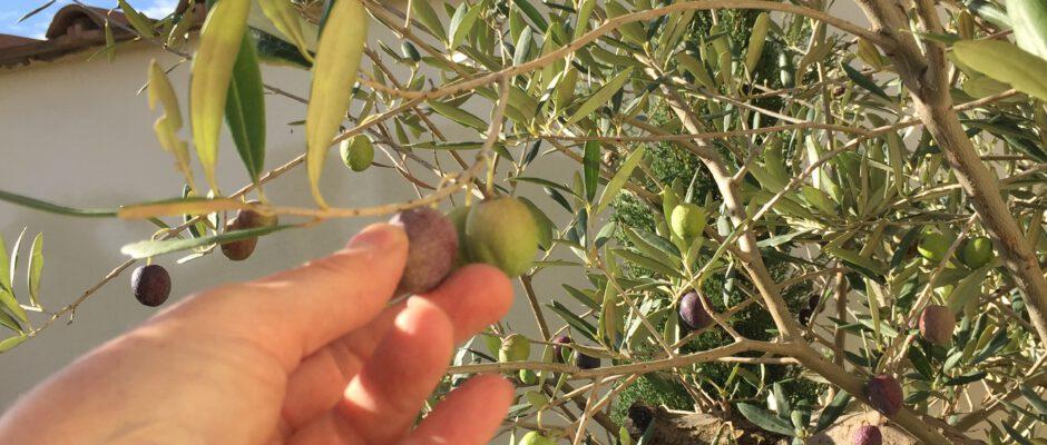 la-cava-olivenernte-in-koeln